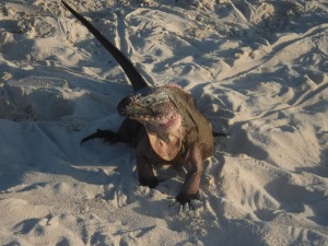 One of the hundreds of prehistoric iguanas that come rushing to greet you when you bring your dinghy to their beach at Allen Cay