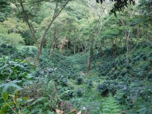 Coffee plants in neat rows throughout the rolling hillsides