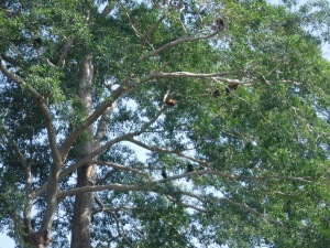 Howler monkeys in Colombia are red.  How many can you count here?