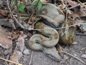 A boa constricting a lizard in our path!
