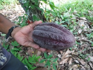 This is the Cacao pod
