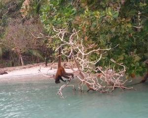 This monkey hung by its tail as it drank the saltwater