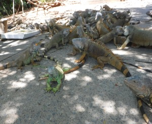 Iguanas come running to dine on compost scraps