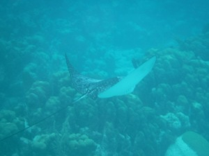 We swam with so many eagle rays