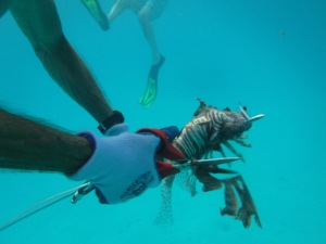 That lionfish's venomous spines are cut off